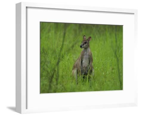 Portrait of a Wallaby-Randy Olson-Framed Art Print