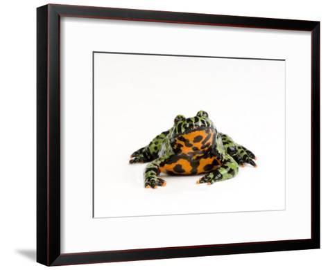 Oriental Fire Bellied Toad, Bombina Orientalis-Joel Sartore-Framed Art Print