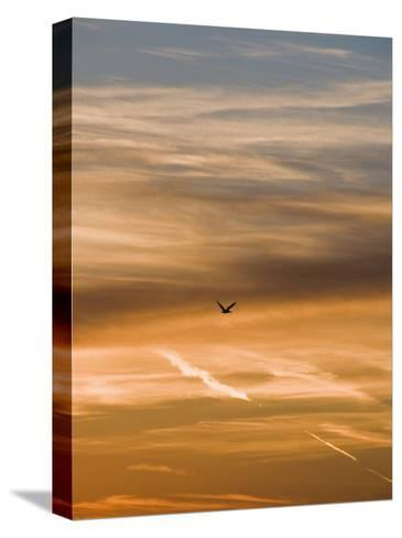 Silhouetted Pelican Flies Toward Sunset-James Forte-Stretched Canvas Print