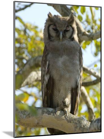 Verreaux's Eagle Owl, Bubo Lacteus, or Milky Eagle Owl, in a Tree-Paul Sutherland-Mounted Photographic Print