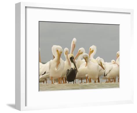 Brown Pelican Among Over-Wintering American White Pelicans-Klaus Nigge-Framed Art Print