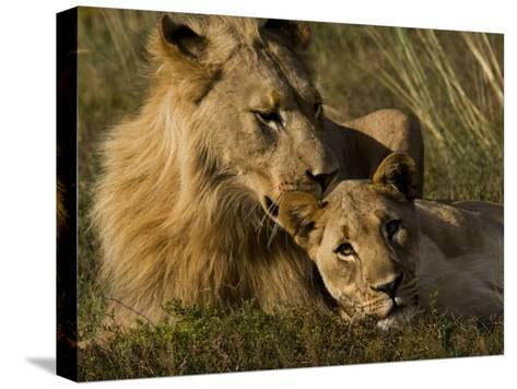 Male and Female African Lions, Panthera Leo, Nuzzling-Mattias Klum-Stretched Canvas Print