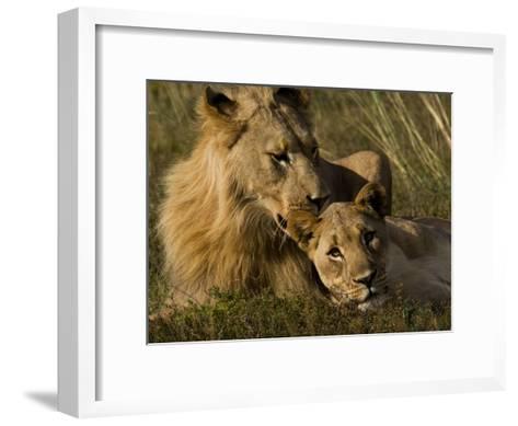 Male and Female African Lions, Panthera Leo, Nuzzling-Mattias Klum-Framed Art Print