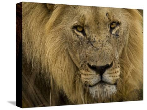 Close Up Portrait of a Male African Lion, Panthera Leo-Mattias Klum-Stretched Canvas Print