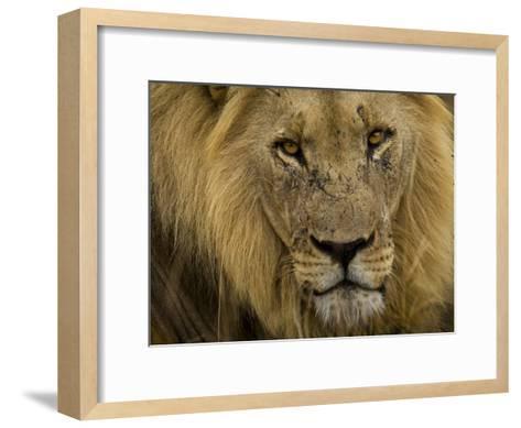 Close Up Portrait of a Male African Lion, Panthera Leo-Mattias Klum-Framed Art Print