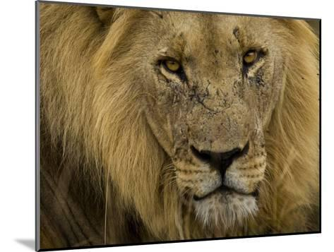 Close Up Portrait of a Male African Lion, Panthera Leo-Mattias Klum-Mounted Photographic Print