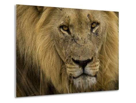 Close Up Portrait of a Male African Lion, Panthera Leo-Mattias Klum-Metal Print