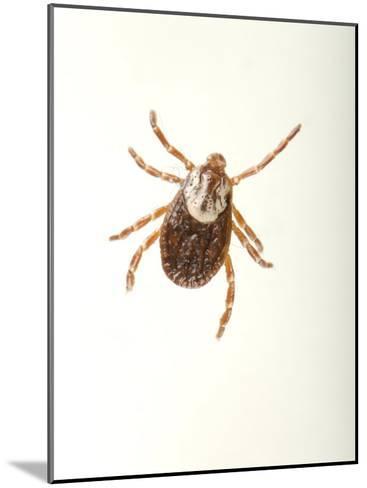 American Dog Tick, Dermacentor Variabilis-Joel Sartore-Mounted Photographic Print