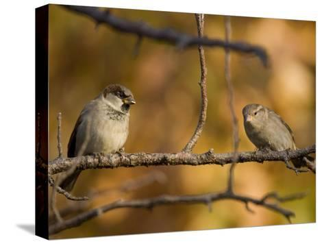 English Sparrows (House Sparrows) in Lincoln, Ne-Joel Sartore-Stretched Canvas Print