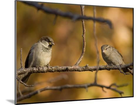English Sparrows (House Sparrows) in Lincoln, Ne-Joel Sartore-Mounted Photographic Print