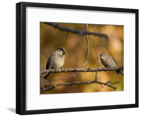 English Sparrows (House Sparrows) in Lincoln, Ne-Joel Sartore-Framed Art Print