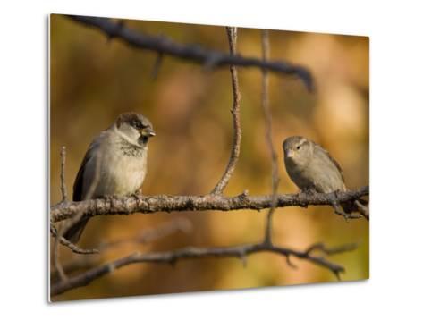 English Sparrows (House Sparrows) in Lincoln, Ne-Joel Sartore-Metal Print
