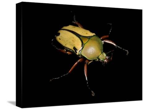 Jade Headed Beetle, Eudicella Smithi-Joel Sartore-Stretched Canvas Print