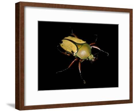 Jade Headed Beetle, Eudicella Smithi-Joel Sartore-Framed Art Print
