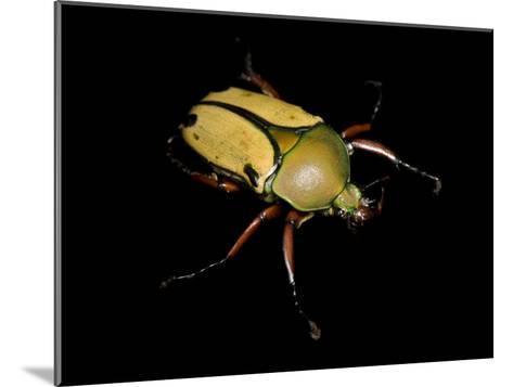 Jade Headed Beetle, Eudicella Smithi-Joel Sartore-Mounted Photographic Print