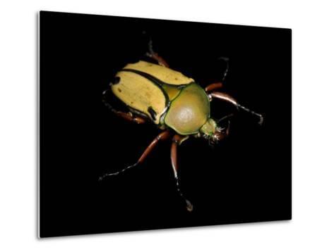 Jade Headed Beetle, Eudicella Smithi-Joel Sartore-Metal Print