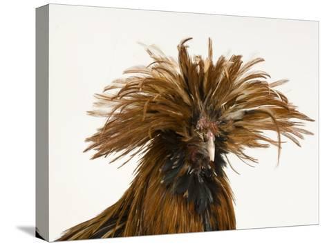 Golden Polish Chicken-Joel Sartore-Stretched Canvas Print