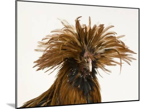 Golden Polish Chicken-Joel Sartore-Mounted Photographic Print