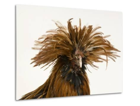 Golden Polish Chicken-Joel Sartore-Metal Print