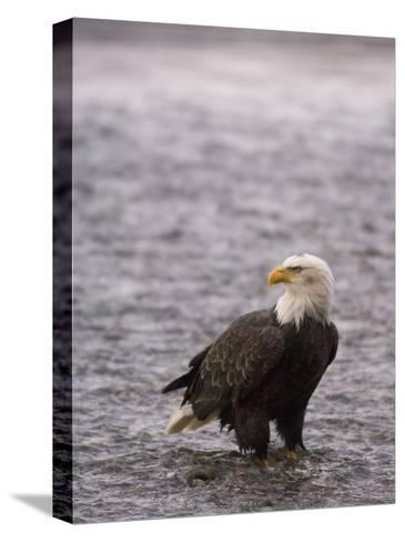 Bald Eagle Stands in Chilkat River, Alaska-Michael S^ Quinton-Stretched Canvas Print