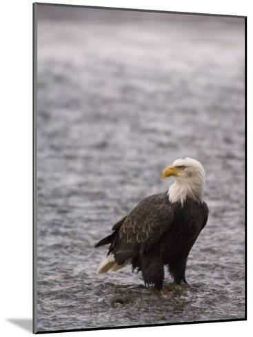 Bald Eagle Stands in Chilkat River, Alaska-Michael S^ Quinton-Mounted Photographic Print