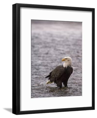 Bald Eagle Stands in Chilkat River, Alaska-Michael S^ Quinton-Framed Art Print