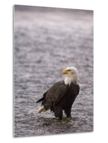 Bald Eagle Stands in Chilkat River, Alaska-Michael S^ Quinton-Metal Print