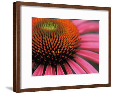 Close-up of a Purple Coneflower-Greg Dale-Framed Art Print
