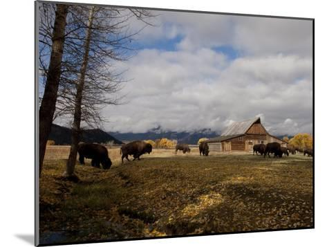 Buffalo in Front of Moulton Barn Near Grand Teton National Park-National Geographic Photographer-Mounted Photographic Print