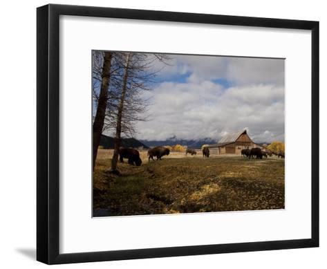 Buffalo in Front of Moulton Barn Near Grand Teton National Park-National Geographic Photographer-Framed Art Print