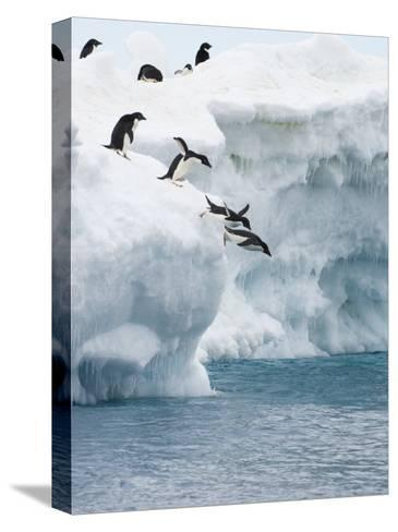 Adelie Penguins Lined Up to Jump from an Iceberg into Chilly Waters-Tom Murphy-Stretched Canvas Print