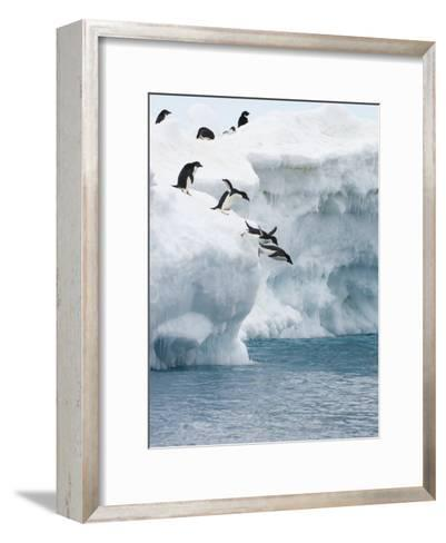 Adelie Penguins Lined Up to Jump from an Iceberg into Chilly Waters-Tom Murphy-Framed Art Print