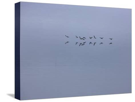Flying Birds and Reflections-Michael Melford-Stretched Canvas Print