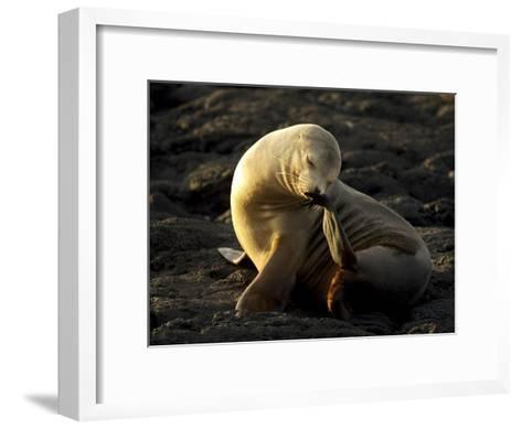 Galapagos Sea Lion, Zolophus Californianus Wallebaecki, Scratching-Tim Laman-Framed Art Print