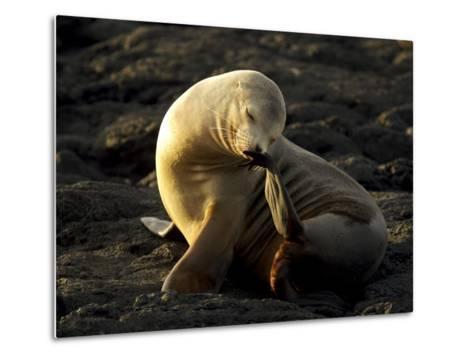 Galapagos Sea Lion, Zolophus Californianus Wallebaecki, Scratching-Tim Laman-Metal Print