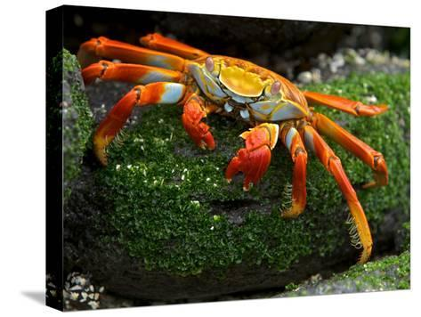 Sally Lightfoot Crab, Grapsus Grapsus, Foraging on Volcanic Rock-Tim Laman-Stretched Canvas Print