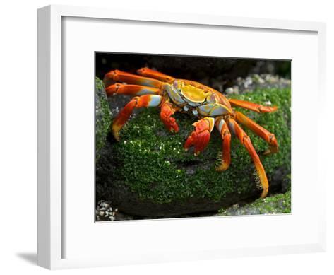 Sally Lightfoot Crab, Grapsus Grapsus, Foraging on Volcanic Rock-Tim Laman-Framed Art Print