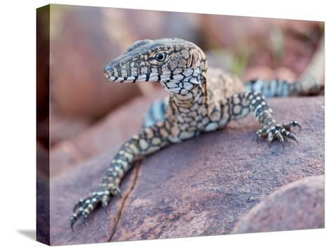 Perentie Monitor Lizard Basking on Rock in Outback Australia-Brooke Whatnall-Stretched Canvas Print