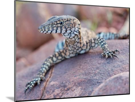 Perentie Monitor Lizard Basking on Rock in Outback Australia-Brooke Whatnall-Mounted Photographic Print