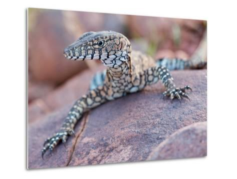 Perentie Monitor Lizard Basking on Rock in Outback Australia-Brooke Whatnall-Metal Print