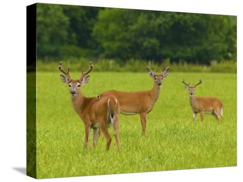 White-Tailed Deer in Cades Cove-Michael Melford-Stretched Canvas Print