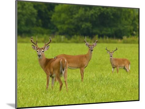 White-Tailed Deer in Cades Cove-Michael Melford-Mounted Photographic Print