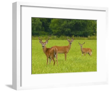 White-Tailed Deer in Cades Cove-Michael Melford-Framed Art Print