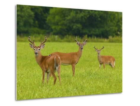 White-Tailed Deer in Cades Cove-Michael Melford-Metal Print