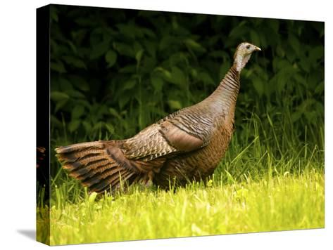 Wild Turkey in a Clearing-Michael Melford-Stretched Canvas Print