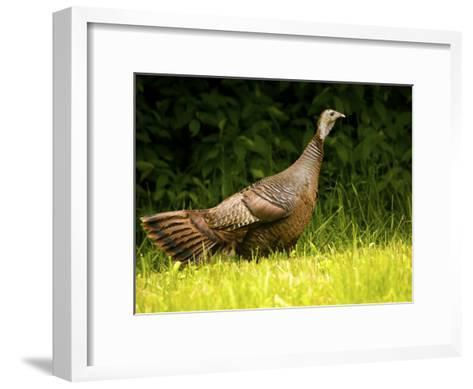 Wild Turkey in a Clearing-Michael Melford-Framed Art Print