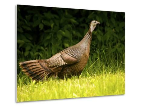 Wild Turkey in a Clearing-Michael Melford-Metal Print