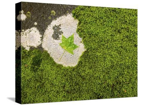 Maple Leaf and Moss-Michael Melford-Stretched Canvas Print