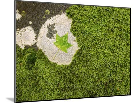 Maple Leaf and Moss-Michael Melford-Mounted Photographic Print