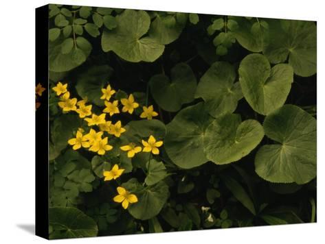 Small Yellow Flowers Growing Among Lush Foliage-Raymond Gehman-Stretched Canvas Print